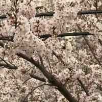 桜に囲まれて・・