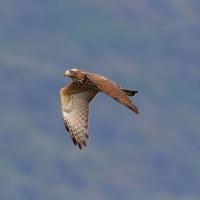 2016.10.19(水)の日誌(秋の鷹渡り#16-04-05:サシバ&ハチクマ緑バックのの飛翔)