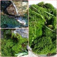 ◆川辺の苔(*^-^*)◆