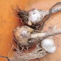 千葉武生: (2016/10/10)大粒ニンニク  畑に植えました。