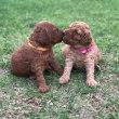 ミディアムプードル ノッコさんの子犬3週間と1日