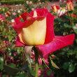 写真といえば5月に薔薇園で撮った写真です。