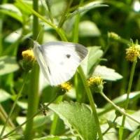 コセンダングサの花にモンシロチョウ