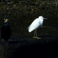 新堀川探鳥散歩 (ユリカモメ、コガモ、キンクロハジロ、ホシハジロ 他)