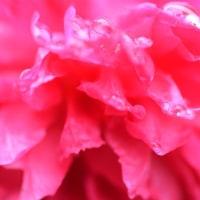 薔薇の、、雫。。