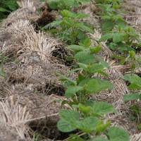 敷き藁農法