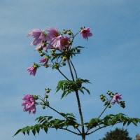 煩雑な障害年金の請求手続き 社労士らが支援活動/ピンクの皇帝ダリアと山茶花、咲いています。