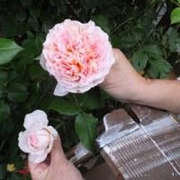 散歩ルートと我が家の庭(バラ)