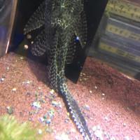 セルフィンプレコ約30cm