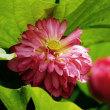 茶碗蓮 (花 4507)