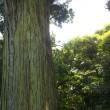 千葉県富津市、白山神社の大杉です!!