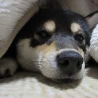 クッション大好き、柴犬りょう! 動画