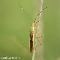 クモヘリカメムシ