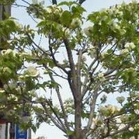 花水木、今年も!(*^_^*)