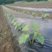 夏野菜が育ってきました。