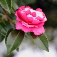 雪と花 サザンカ