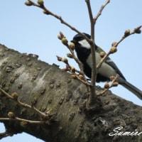 開花真近の桜と野鳥