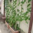 我が家の緑のカーテン 20170720