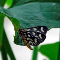 花図鑑49  何という蛾でしょうか・・?