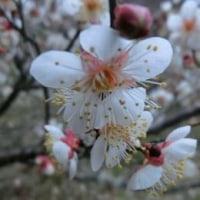 古都奈良の隠れ『梅林』へ。。(^з^)Chu!