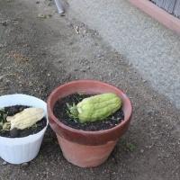4月<15>ハヤト瓜、コリンキー定植