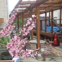 桜に負けず劣らず