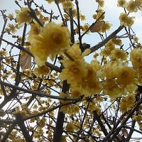 我が家の庭に今年も咲いた蝋梅