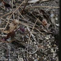 イカリソウの芽生え