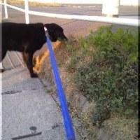 散歩中は糞をしないで庭でするようになった