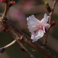 ジュウガツザクラ(冬桜)2017