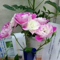お花にお詳しい方、このバラ(薔薇)の名前を教えて下さいませ。