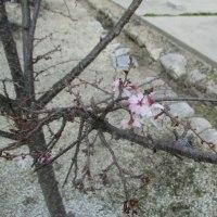 高田本山へ足を延ばしてー2;桜