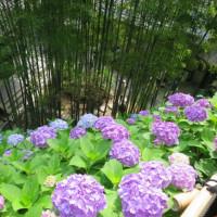 長谷の紫陽花めぐり