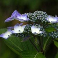 6月25日(日)  秩父 美の山公園 紫陽花(1)  ・・(共同作業)