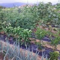 我が家の家庭菜園は今年は雨不足