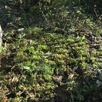 ドウランツツジを前庭に植える