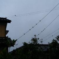 雨の中、電線に沢山の燕が…