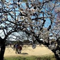 茨城県水戸市の偕楽園2017年早春・・梅は約5分咲き