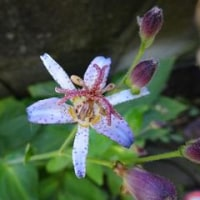 我家の庭の花 シュウメイギク 10月中旬
