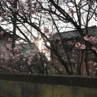 雨上がりの朝に咲く梅