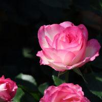 ちょっと新宿御苑にバラを見に