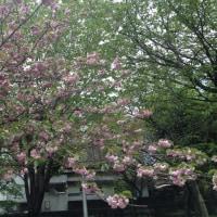 桜の季節も終わりです。