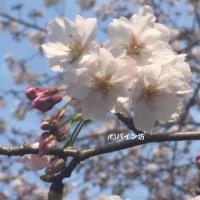 桜の見頃までカウントダウン!