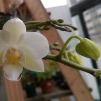 白い胡蝶蘭の話し。