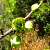 ポポーの花と春の山野草 ユキモチソウ、エビネ、オドリコソウ