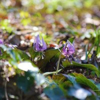 山岳点景:Spring ephemeral 春の妖精―かたくり春麗