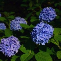 三室戸寺 紫陽花のライトアップ