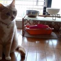 僕ぅ、猫トイレでウ◯チできました🙀【猫日記こむぎ&だいず】2017.05.19
