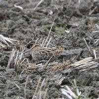 耕された水のない田んぼで、タシギを見た。