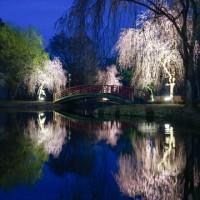 【今日の湯沢】花まつり湯沢4/29にピークを合わせたかのように日に日に桜が色づく湯沢中央公園